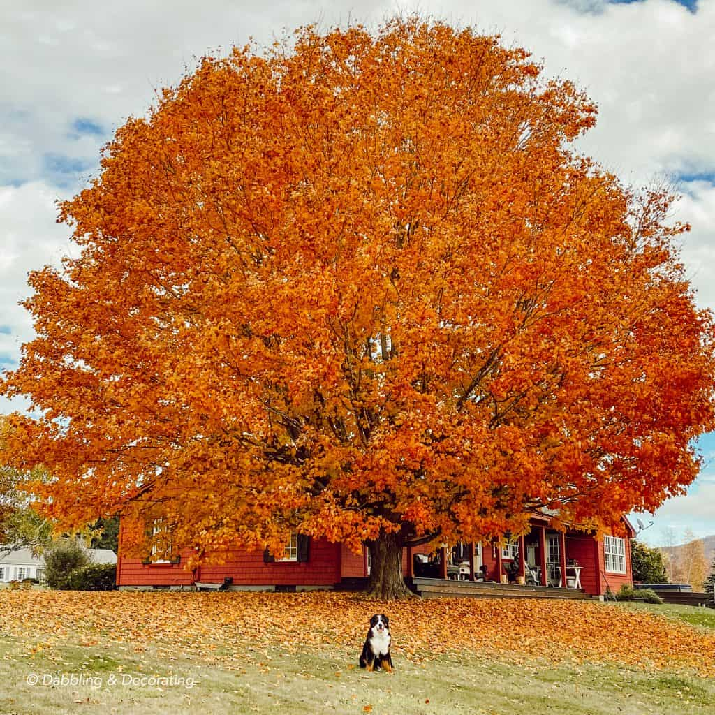 Autumn in Vermont.  A large orange maple tree with bernese mountain dog.