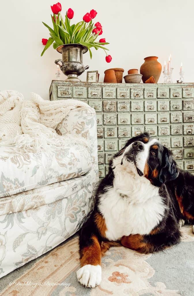 Ella, the Bernese Mountain Dog.