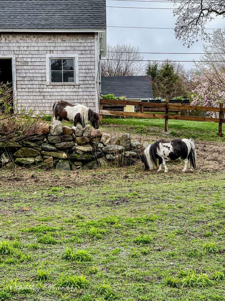 Ponies at Snug Harbor Farm