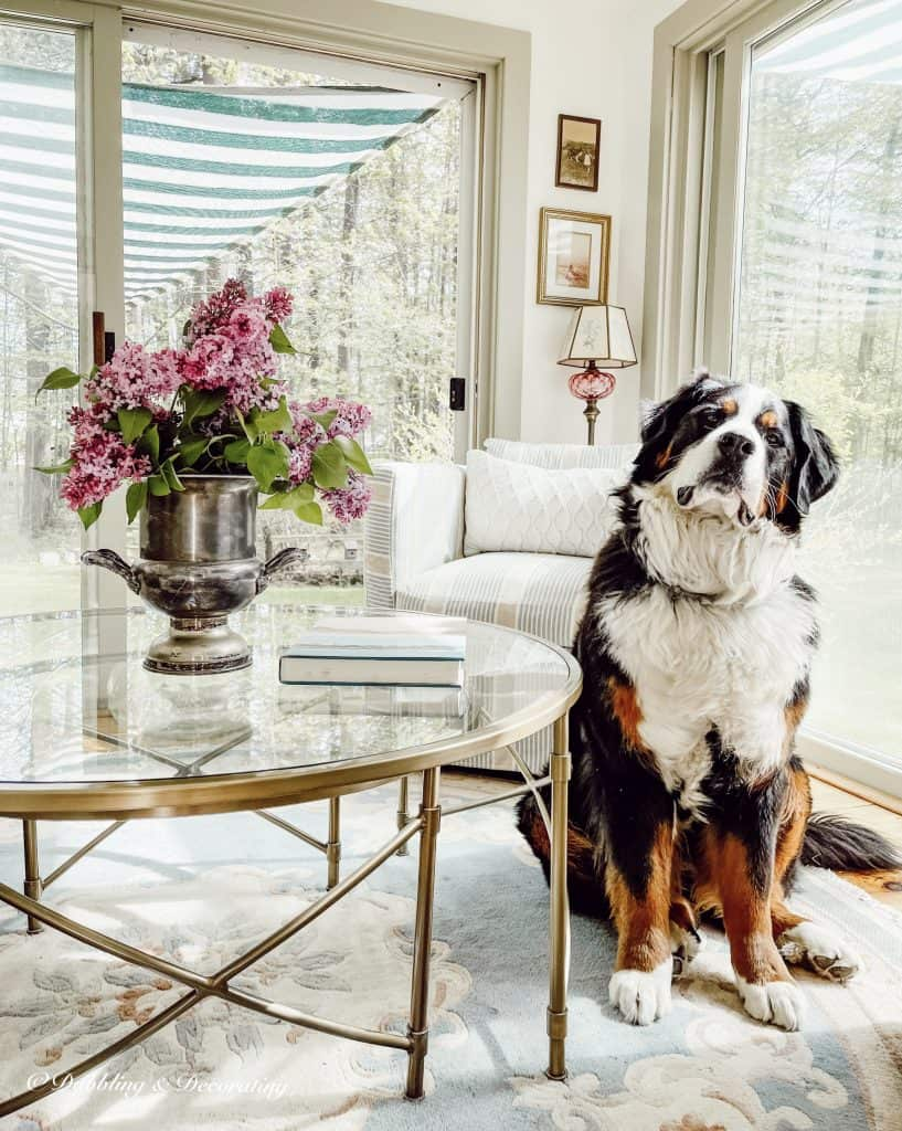 Decorating with the Color Purple.   Lilacs in the sunroom with our Bernese mountain dog.