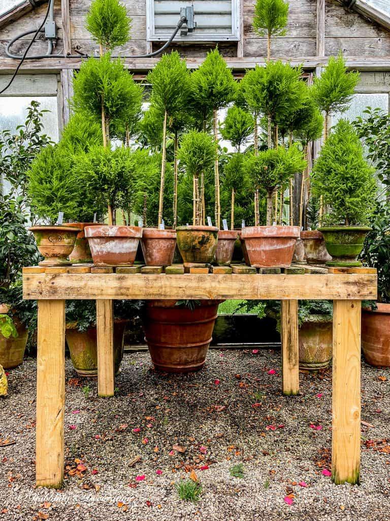 Green topiaries in terracotta pots.