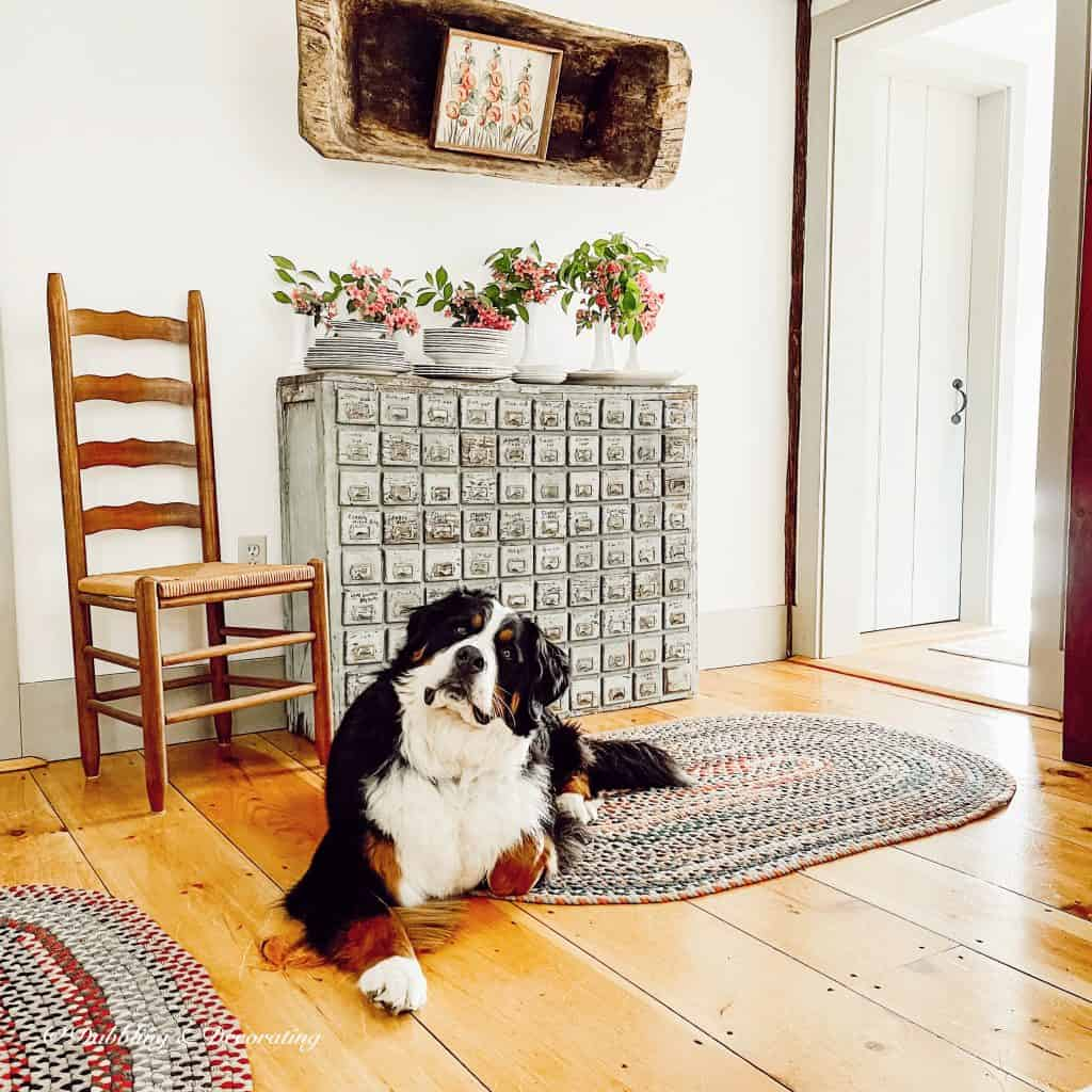 A Summer House Tour  Old apothecary cabinet with Bernese Mountain Dog.