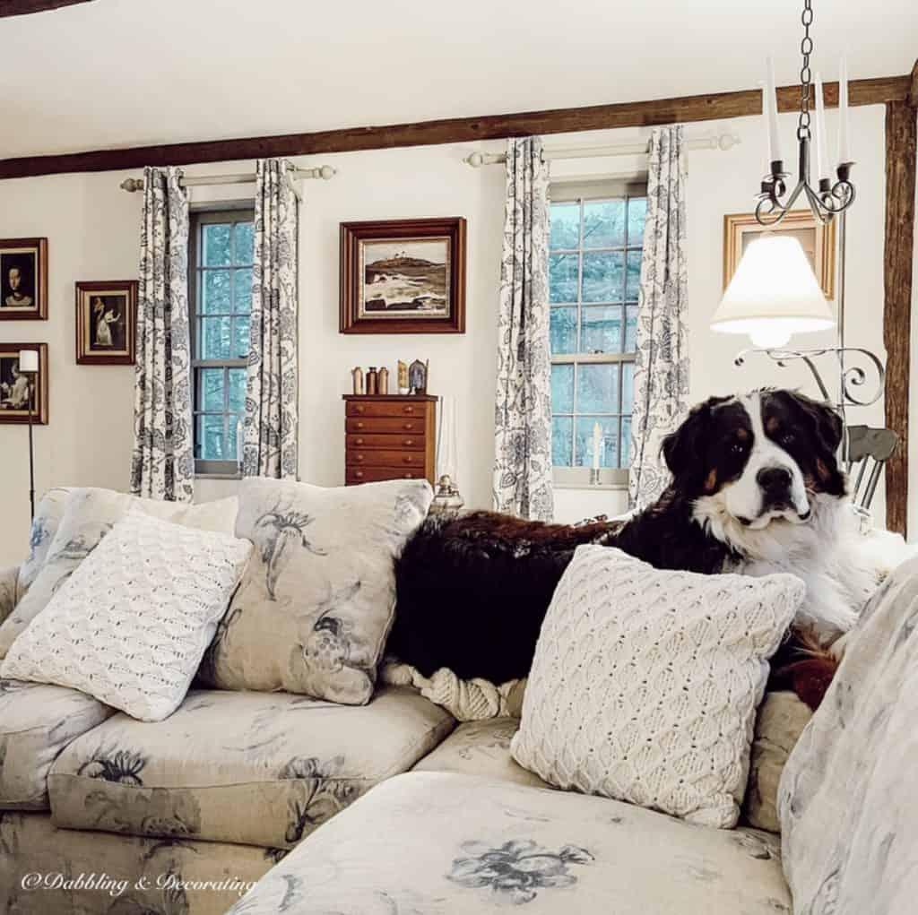 Ella the Bernese Mountain Dog on sectional couch.