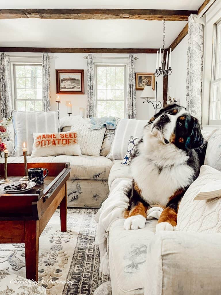 Bernese Mountain Dog on Sectional Couch